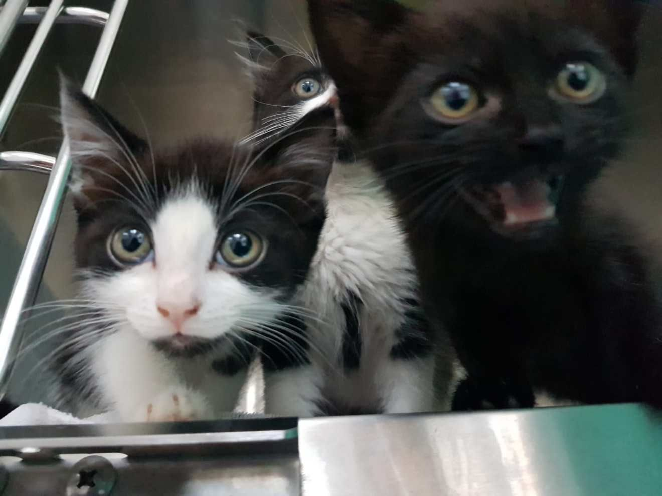 Eight Week Old Abandoned Kittens Had The Worst Flea Infestation Mayhew Vets Have Ever Seen Cat Has Fleas Kittens Sick Cat