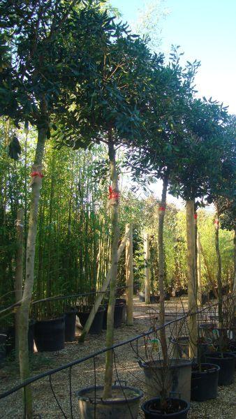 Pittosporum Tobira Full Standard Tree. To Buy London UK