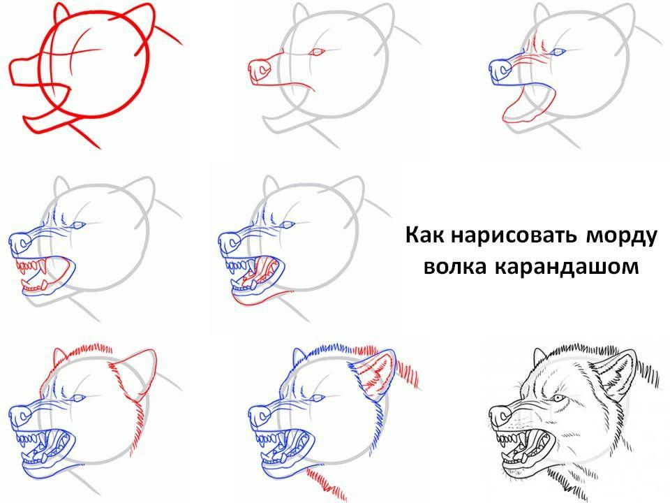 волк рисунок поэтапно вначале