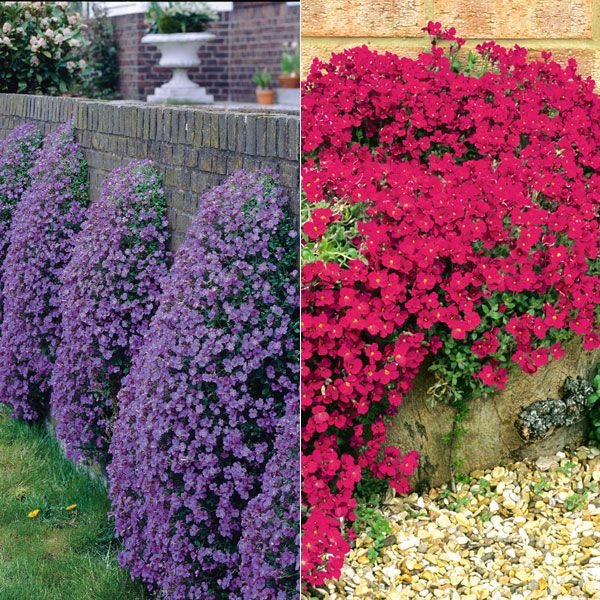 evergreen ground cover zone 6 buy aubretia ground cover aubretia 39 collection 39 stuff to buy. Black Bedroom Furniture Sets. Home Design Ideas