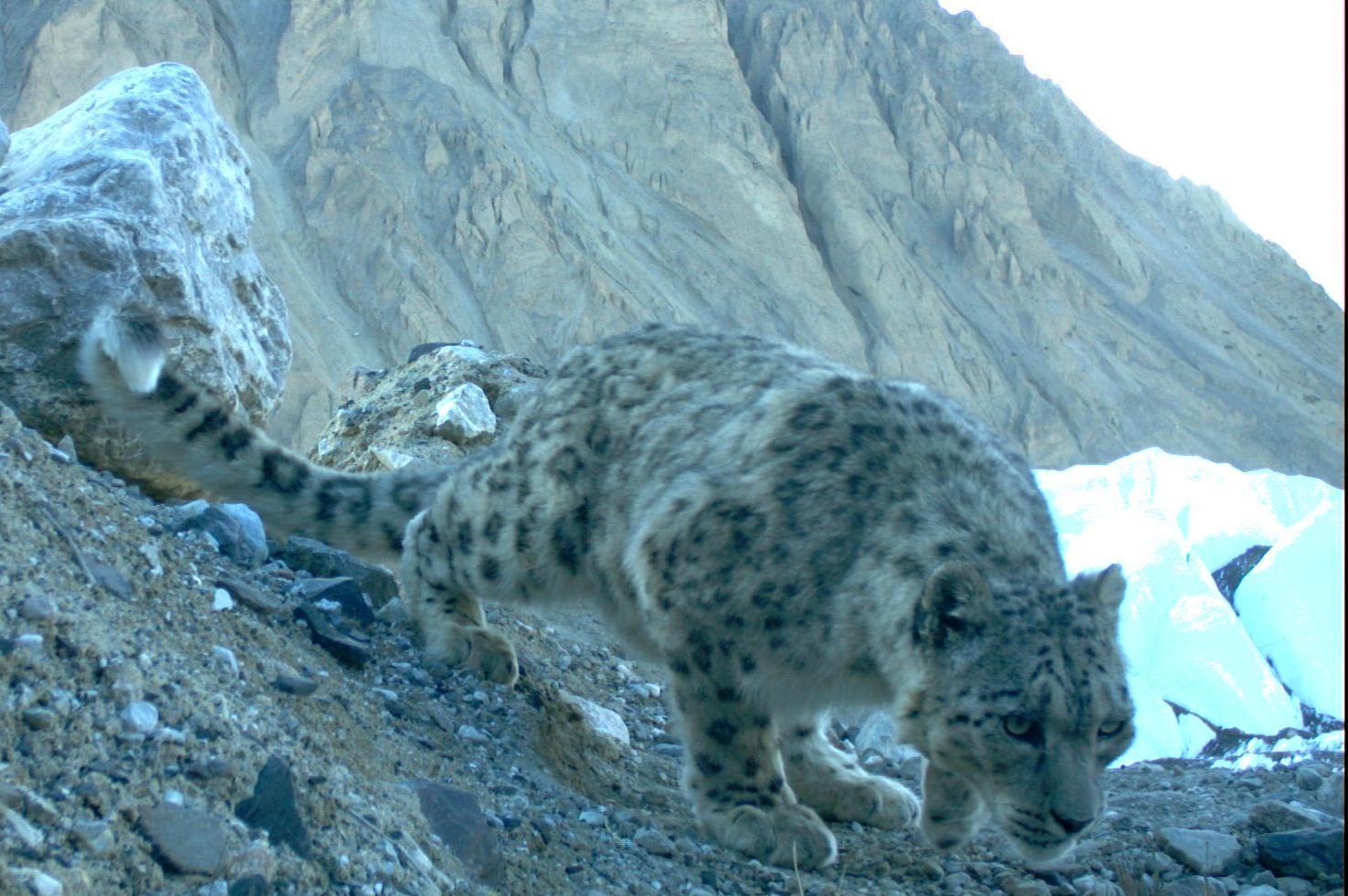 Snow leopards   WWF Johnny Times