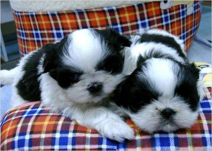 Shih Tzu Puppies Shih Tzu Puppies For Sale For Sale In Los