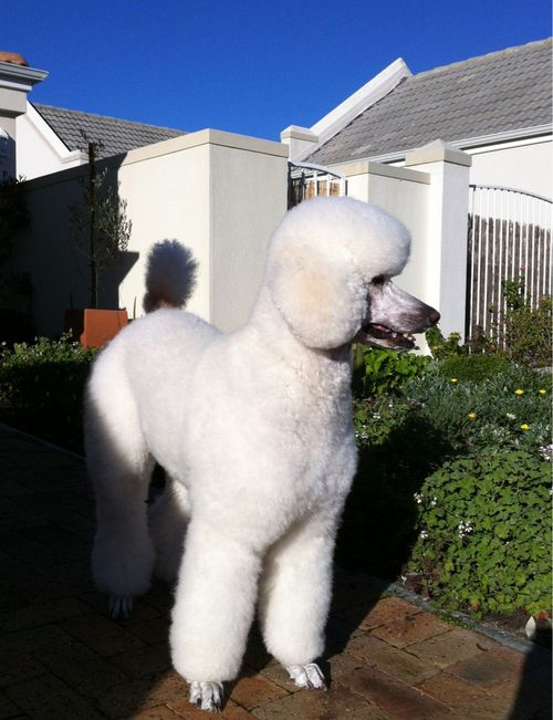 South African Poodle Fabulousness Purebred Dogs Poodle