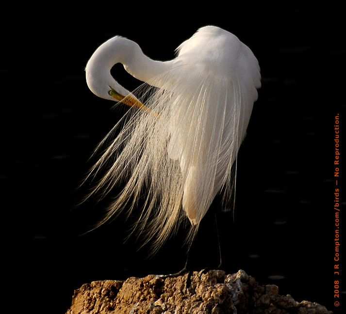 Egret Preening in Finery - Copyright 2008 by J R Compton. All Rights Reserved. No Reproduction in Any Medium Without Specific Written Permission.