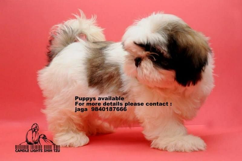 Shih Tzu Puppies For Sale In Chennai Pls Call 9840187666 Shih