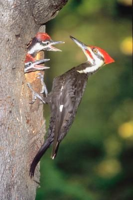 How To Attract Pileated Woodpeckers With Suet On The Side