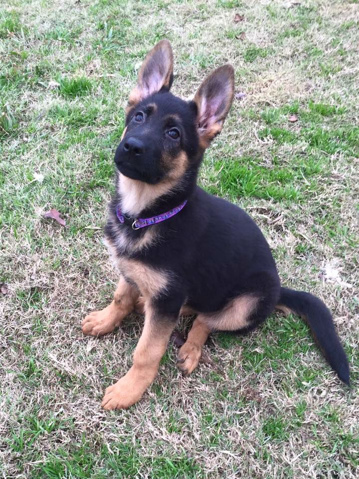 German Shepherd Puppies For Sale All Of Our Dogs And Puppies Receive Regular Veterinary Car German Shepherd Puppies Female German Shepherd Cute Animal Pictures