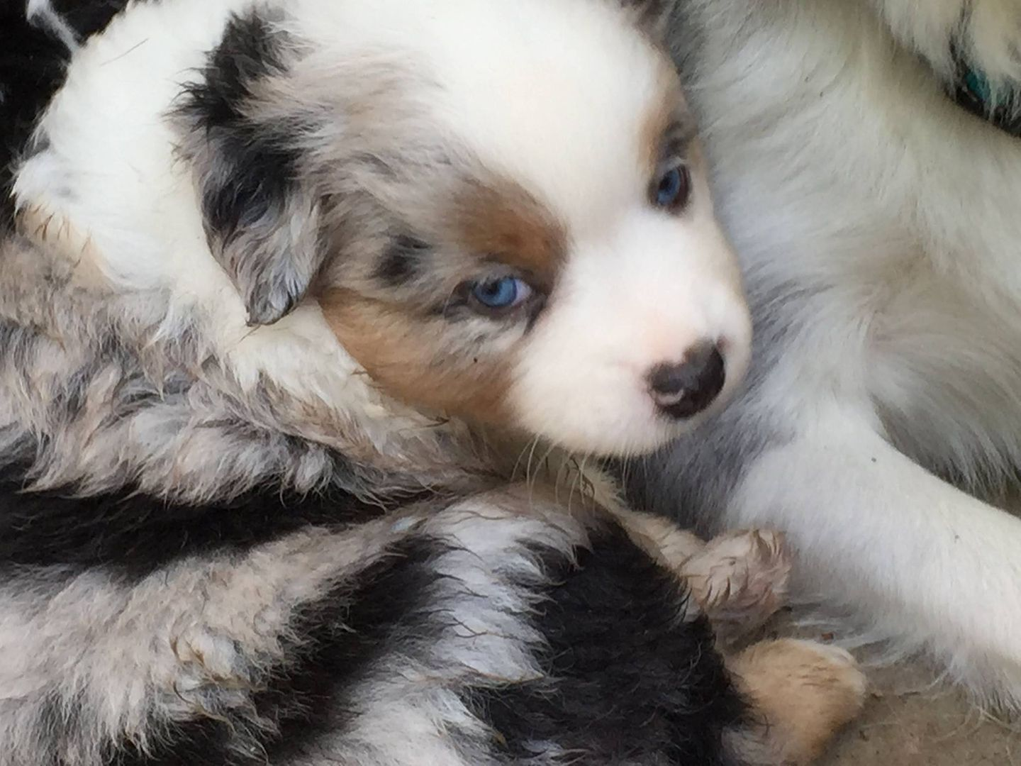 Keldrew Ranch Texas Miniature Toy Australian Shepherd Puppies