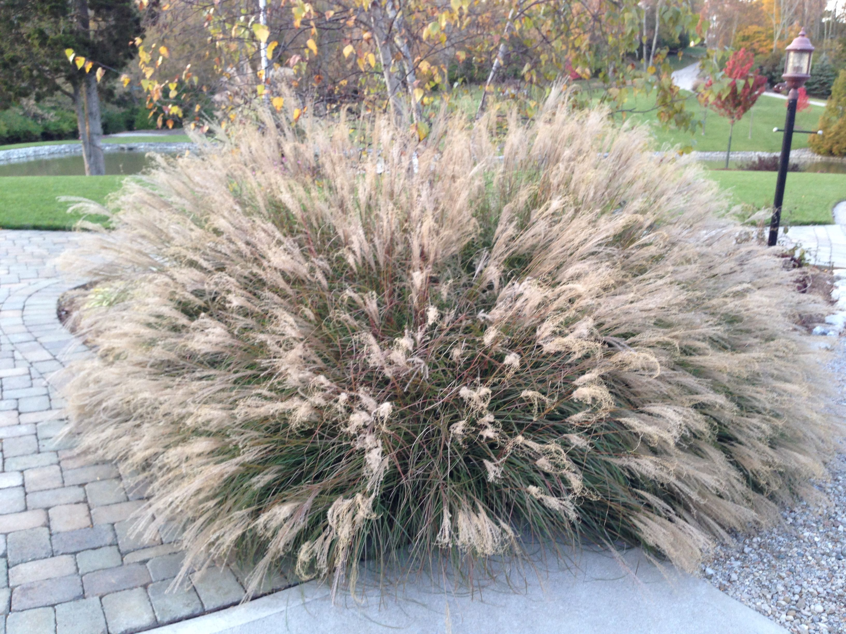 Little Kitten Maiden Grass A Lush Foliage Clump Turning Gold In Fall Blonde Flower Spikes Just Inches Ab Backyard Plants Monrovia Plants Ornamental Grasses