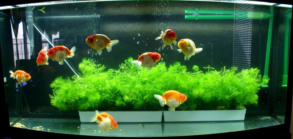 Ranchu goldfish aquarium fancy goldfish pinterest for Aquarium decoration for goldfish