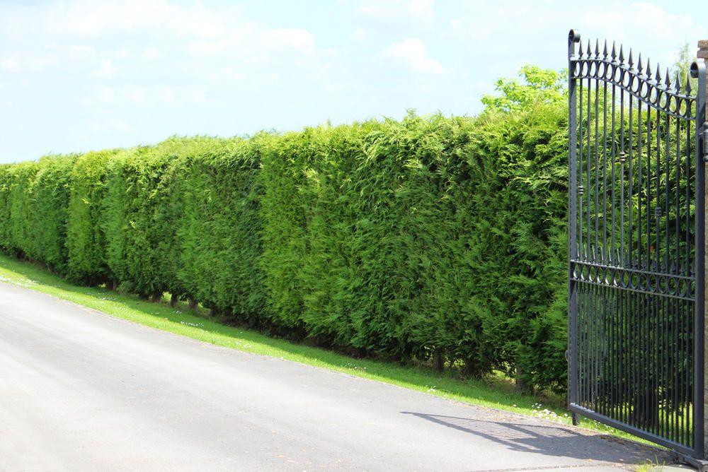 LeylandZypresse Hecke pflanzen, Immergrüne pflanzen