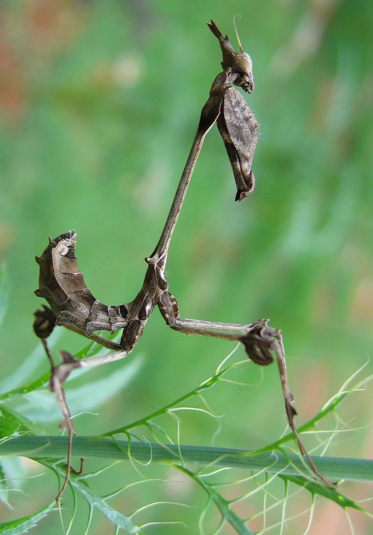 praying mantis Google Search Arts Insects