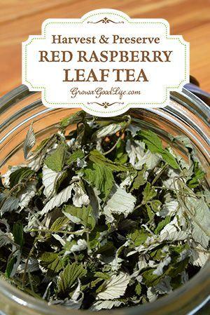 How To Harvest Amp Preserve Red Raspberry Leaf Tea
