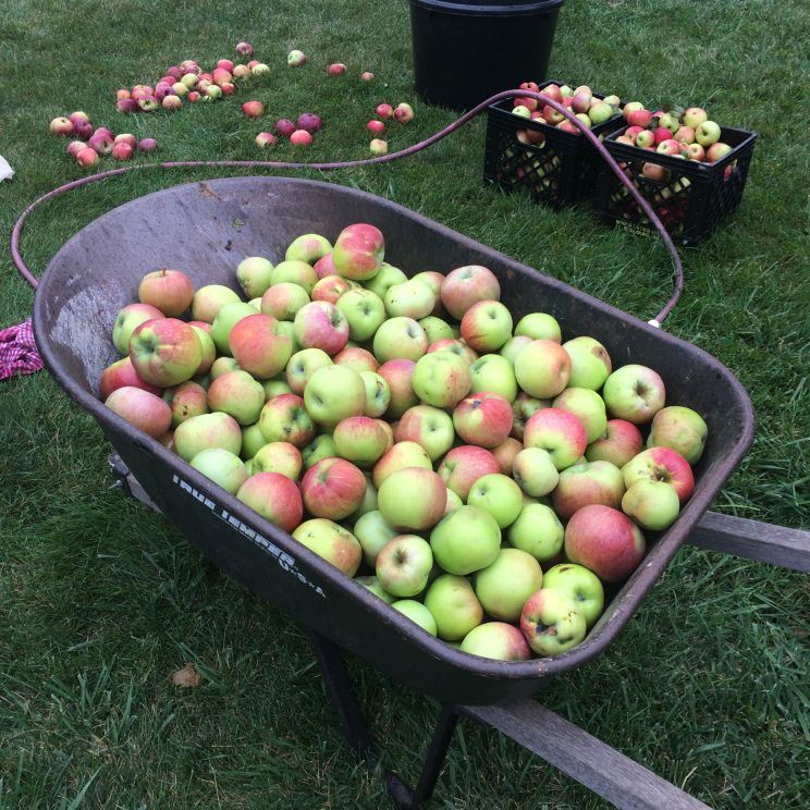 Your efforts to pick, store and process apples will pay off Saturday or Sunday. Please consider a trip to Silver Creek Orchard in Baltic, SD from 1-5pm. $3/5# or $5/10# bag  25052 474th Ave., Balti…
