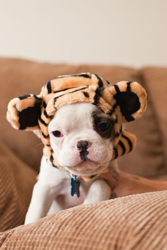Tiger Frenchie Pup This is so incredibly precious
