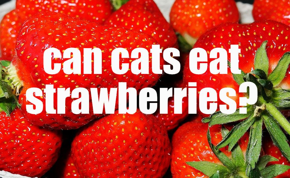 Can cats eat strawberries? If you gave your cat a