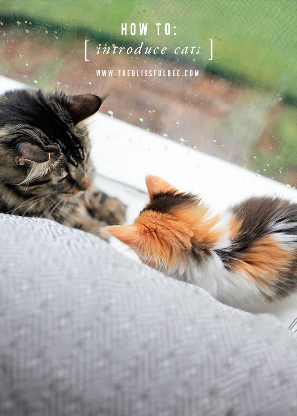How To Introduce Cats The Proper Way The Blissful Bee With Images How To Introduce Cats Cats Baby Cats