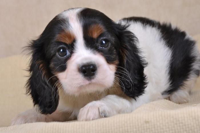 Cavalier King Charles Tricolore Femelle Photo De Chiot Chiot Cavalier King Charles
