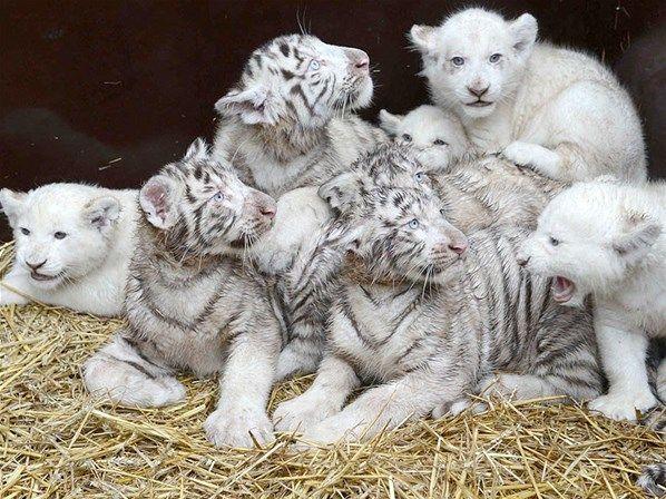 Cuatro cachorros de león blanco de ocho semanas y cuatro cachorros de tigre blanco de dieciséis semanas se amontonan después de recibir su primer control médico en el parque de safari Hodenhagen en Lower-Saxony, Alemania.