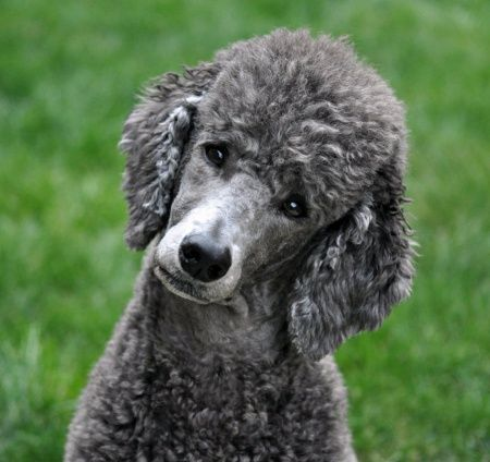 Scandinavian Clip If I Have A Male Poodle Dogs Grey Poodle