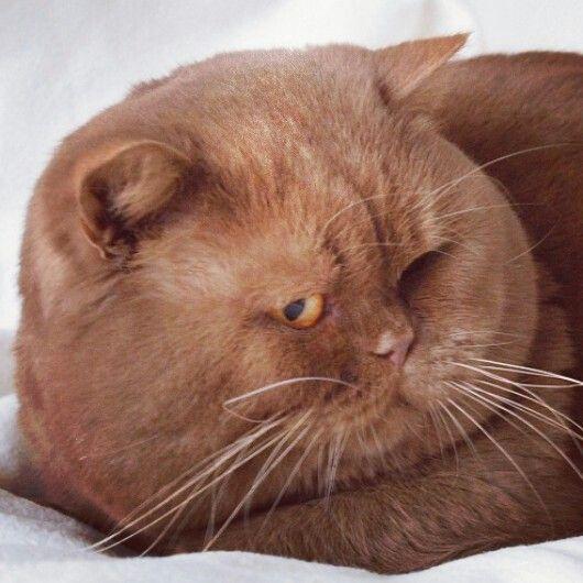 My New Favorite British Shorthair Cute Cats British Shorthair