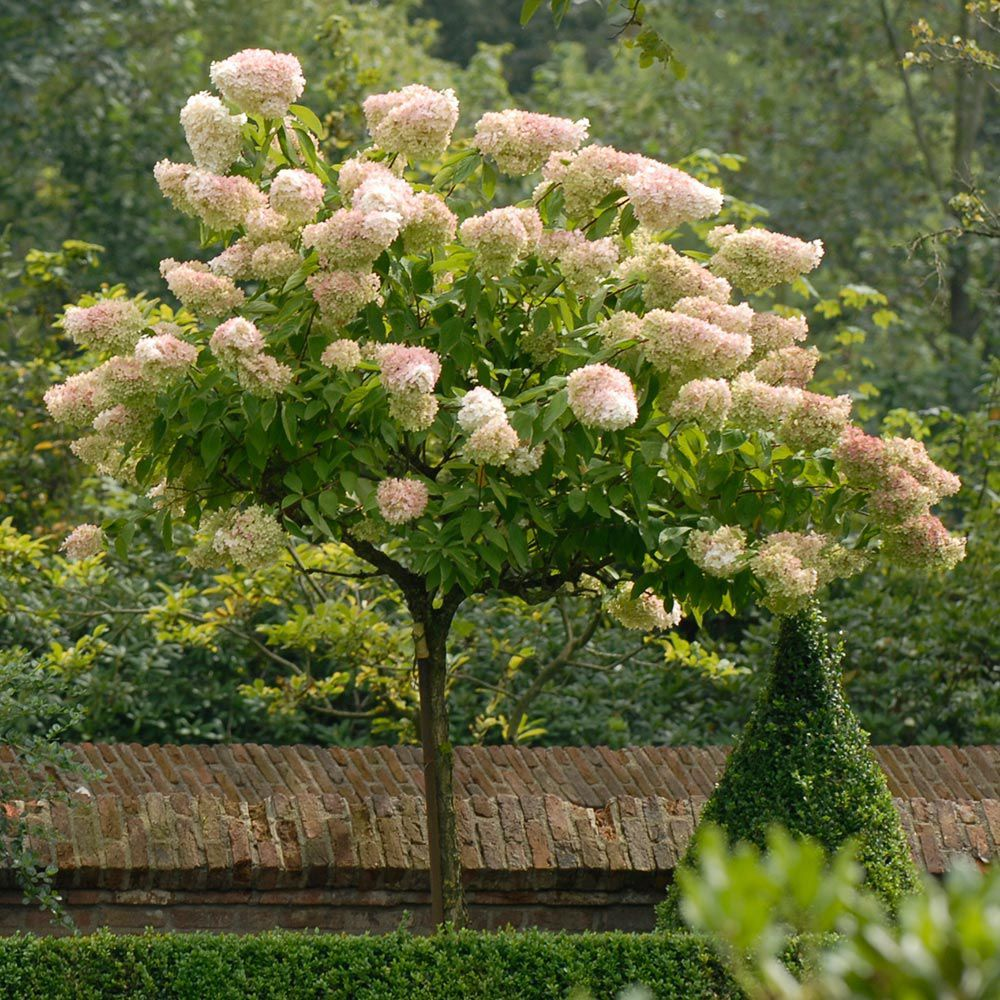 Hydrangea paniculata grandiflora garden pinterest for Purchase trees