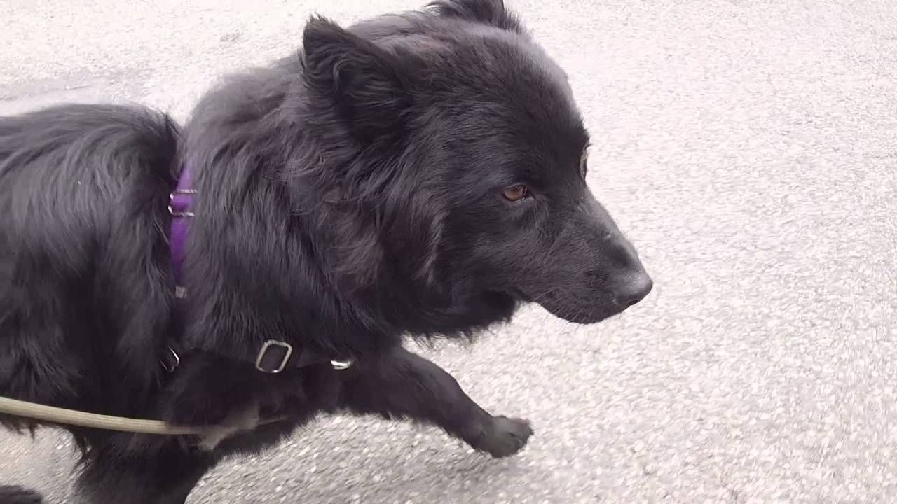 Shadow Chow Chow Amp Shepherd Mix Adoptable Dog Seattle Wa