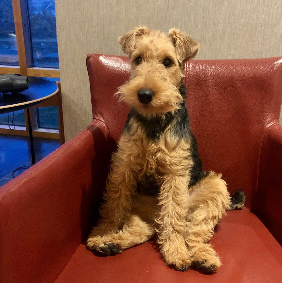 Welsh Terriers Airedale Dogs Terrier Dog Breeds Terrier Dogs