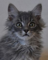 Adopt Pippen On Petfinder Kitten Adoption Cute Cats And Kittens Cute Cats