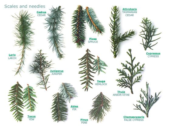Rogers trees and shrubs fabulously useful site for identifying trees and shrubs see the leaf - Fir tree planting instructions a vigorous garden ...