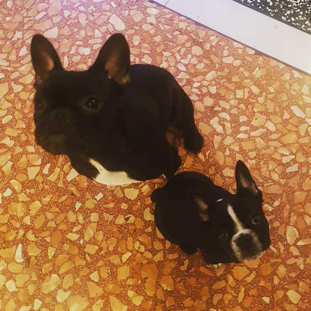 Amori Buldogfrancesi Buldogue Frenchies Puppy Followme Food