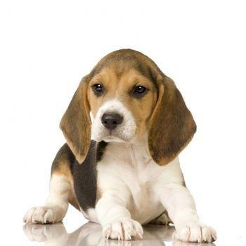 Top Smart Beagle Adorable Dog - 8c5fe8ad7a9d6355cbe03b0683d3ff72  Trends_272391  .jpg