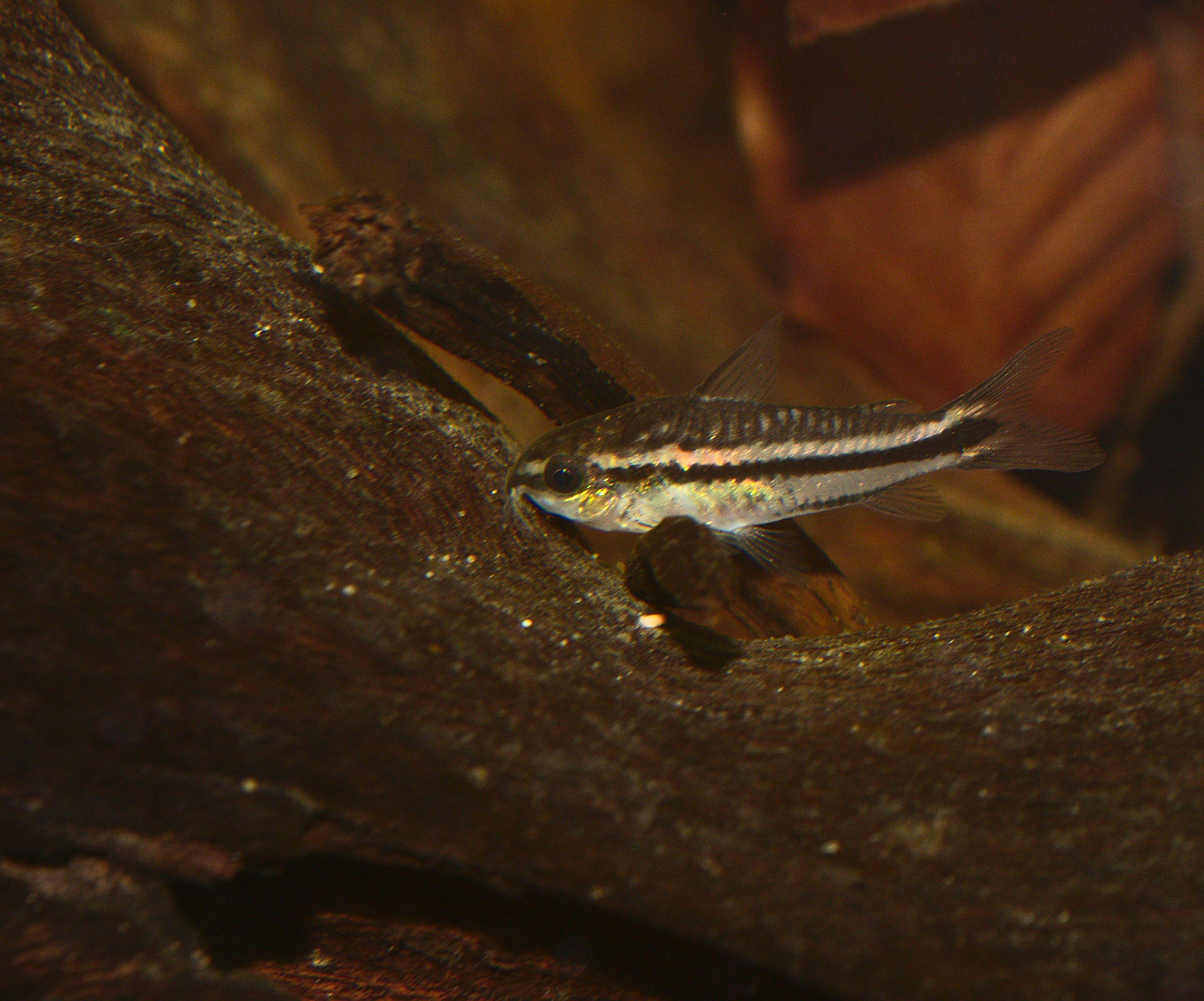 Pygmy Cory Corydoras Pygmaeus Marine Fish Fish Marine