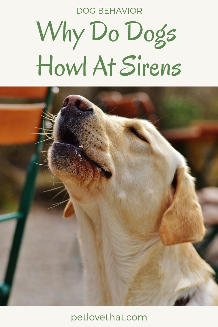 When People Take Their Doggie Out For A Walk They Often Hear Their Doggie Howling At Sirens When An Ambulance Passed By By Th Dogs Dog Behavior Dog Training