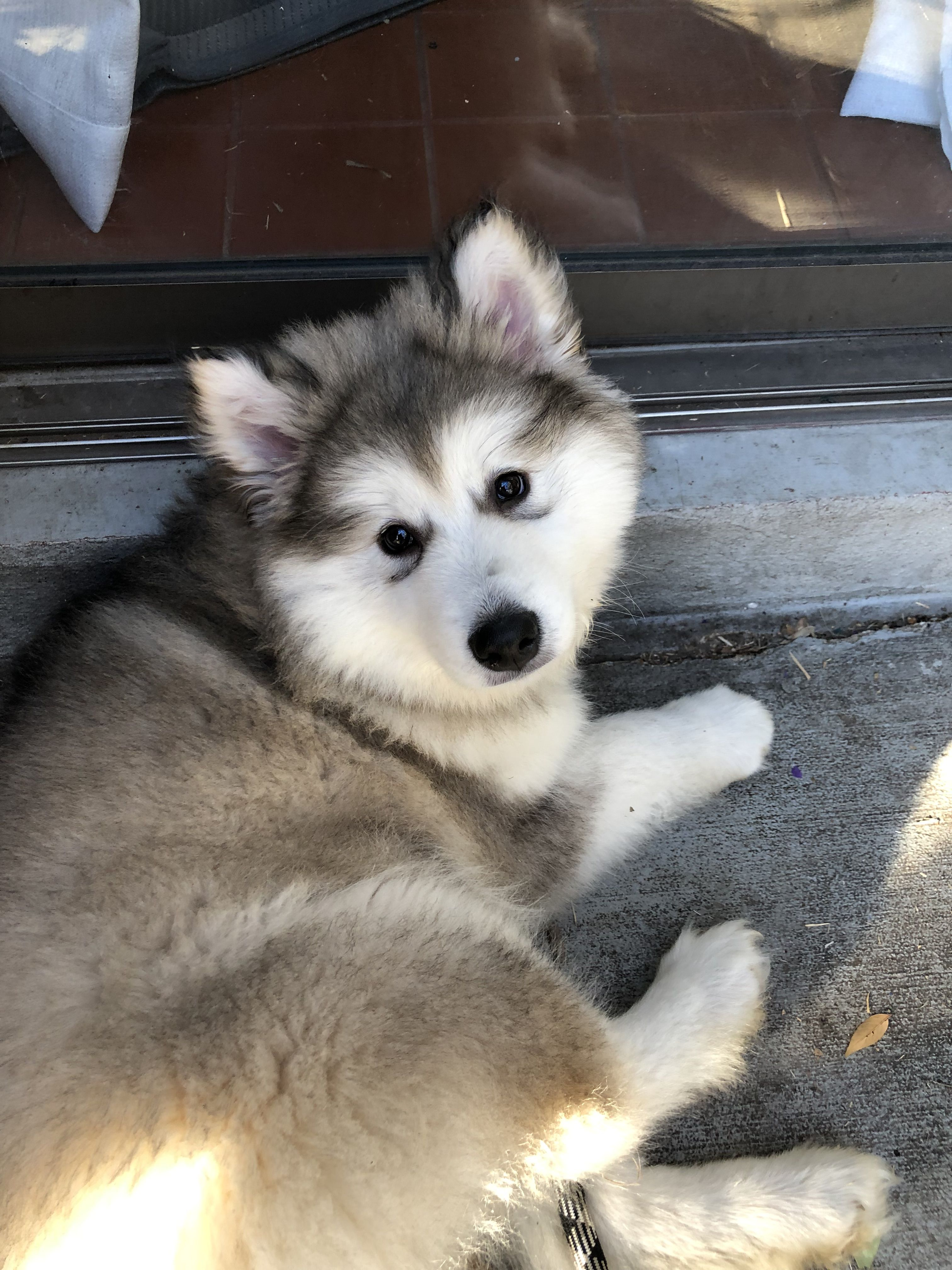 Our Adorable Zena Alaskan Malamute Alaskan Malamute Puppies