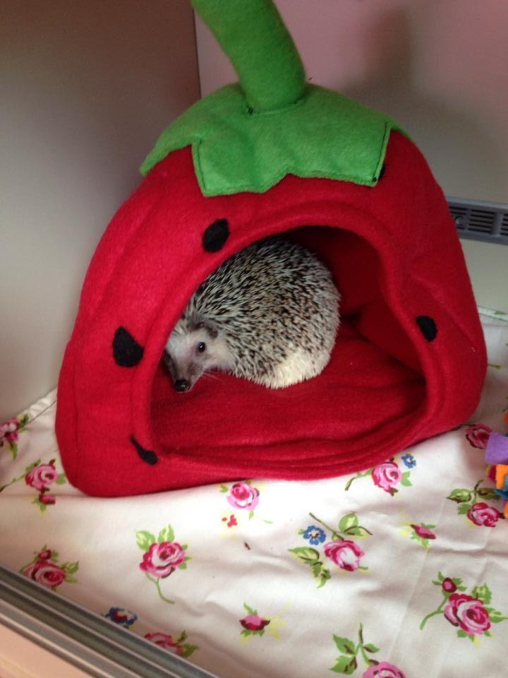 ~Novelty Strawberry Bed African Pygmy HEdgehog www.hedgepods.com