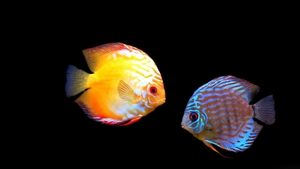 Great Discus Popula Aquarium Fish Hd Wallpaper For The Aquarium