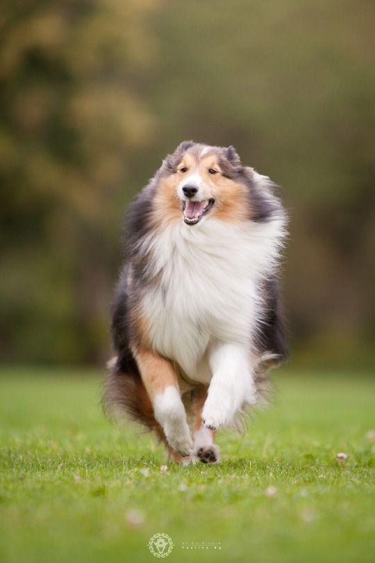 Of Carnivora Sheltie Dogs Best Dog Breeds Rough Collie