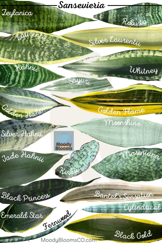 Sansevieria Snake Plant Variety Identification & Care