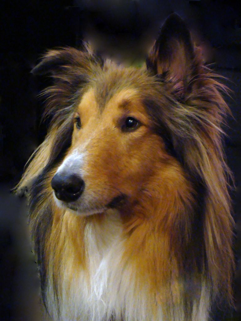 Collie Rough Dog Face Photo Collie Breeds Collie Dog Sheltie Dogs