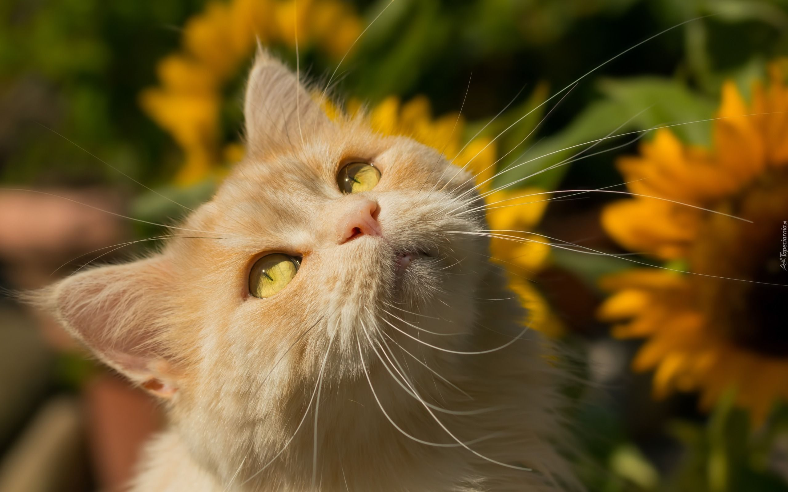 Rudy Kot Słoneczniki Tapety Zwierzęta Tapeciarniapl