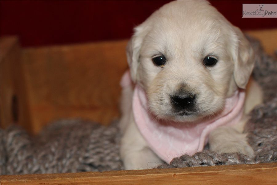 I Am A Cute English Golden Retriever Puppy Looking For A Home On