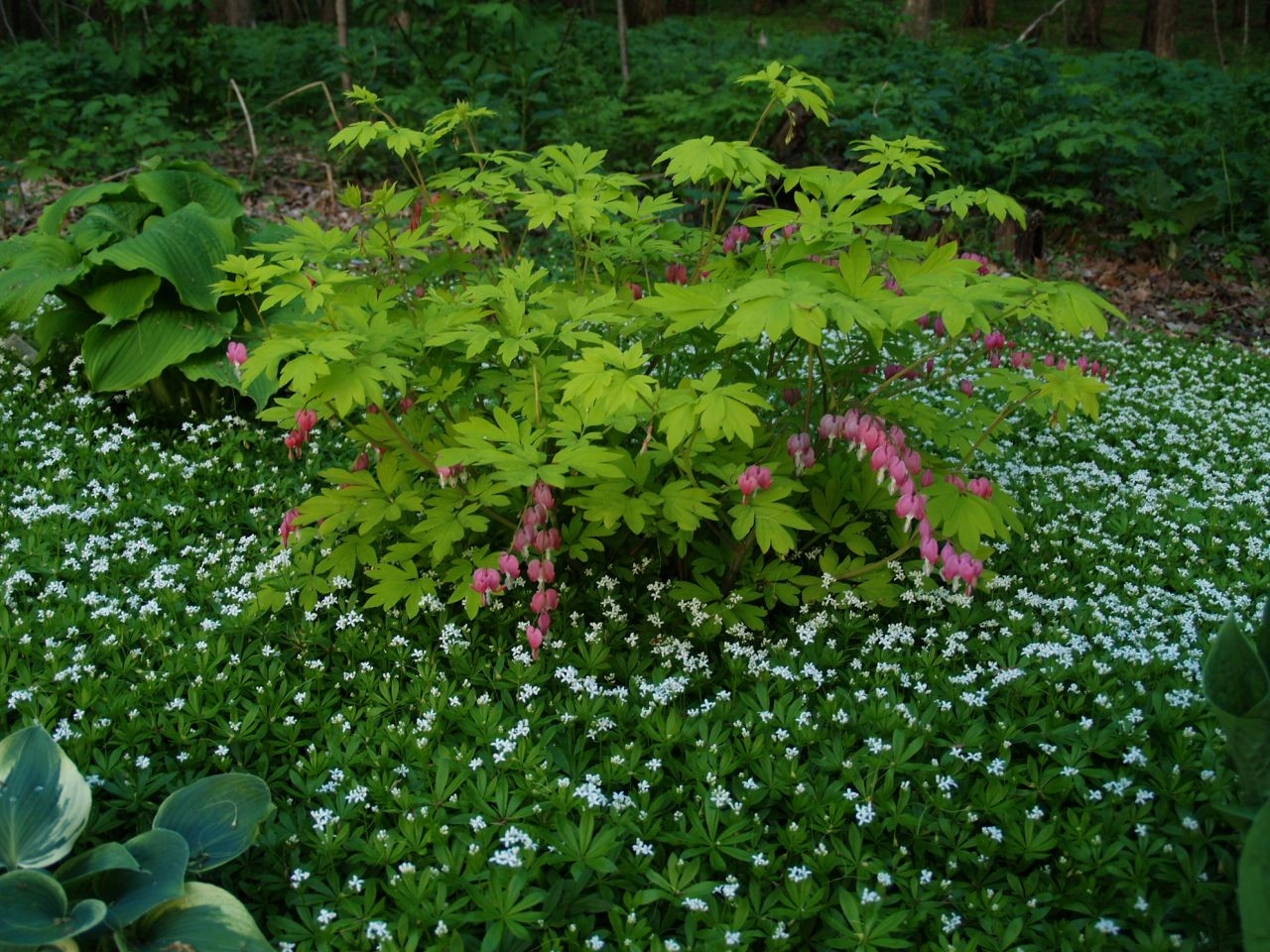 Gold Heart Bleeding Heart And Sweet Woodruff Knecht S Nurseries Landscaping Sweet Woodruff Plants Bleeding Heart