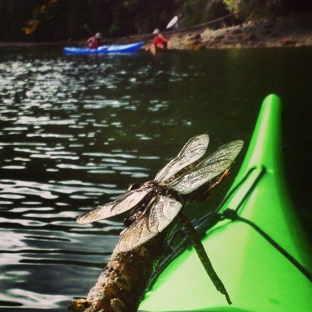 A rescued Dragonfly I took out of the water on an Inlet Kayak tour late summer 2014