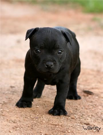 Staffy Puppy Cutest Thing Ever Cute Puppies And Kittens