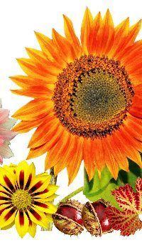 Colors of sunflower #sunflowerwallpaper Colors of sunflower   sunflower colors   autumn   sunflower   autumn colors   dahlias   sunflower wallpapers   sunflower wallpaper iPhone   sunflower drawing   sunflower field #sunflowerwallpaper