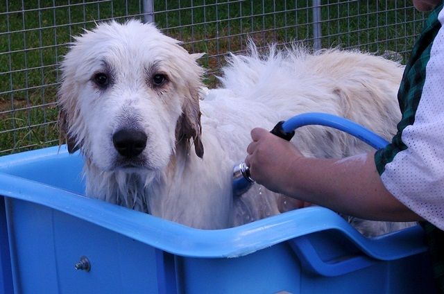 How To Groom A Pyrenees Great Pyrenees Pyrenean Mountain Dog
