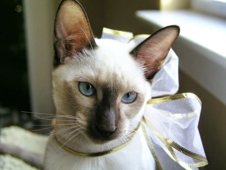 Carolina Blues Cattery Siamese Kittens For Sale In 2020 Siamese Kittens Kittens Pretty Cats