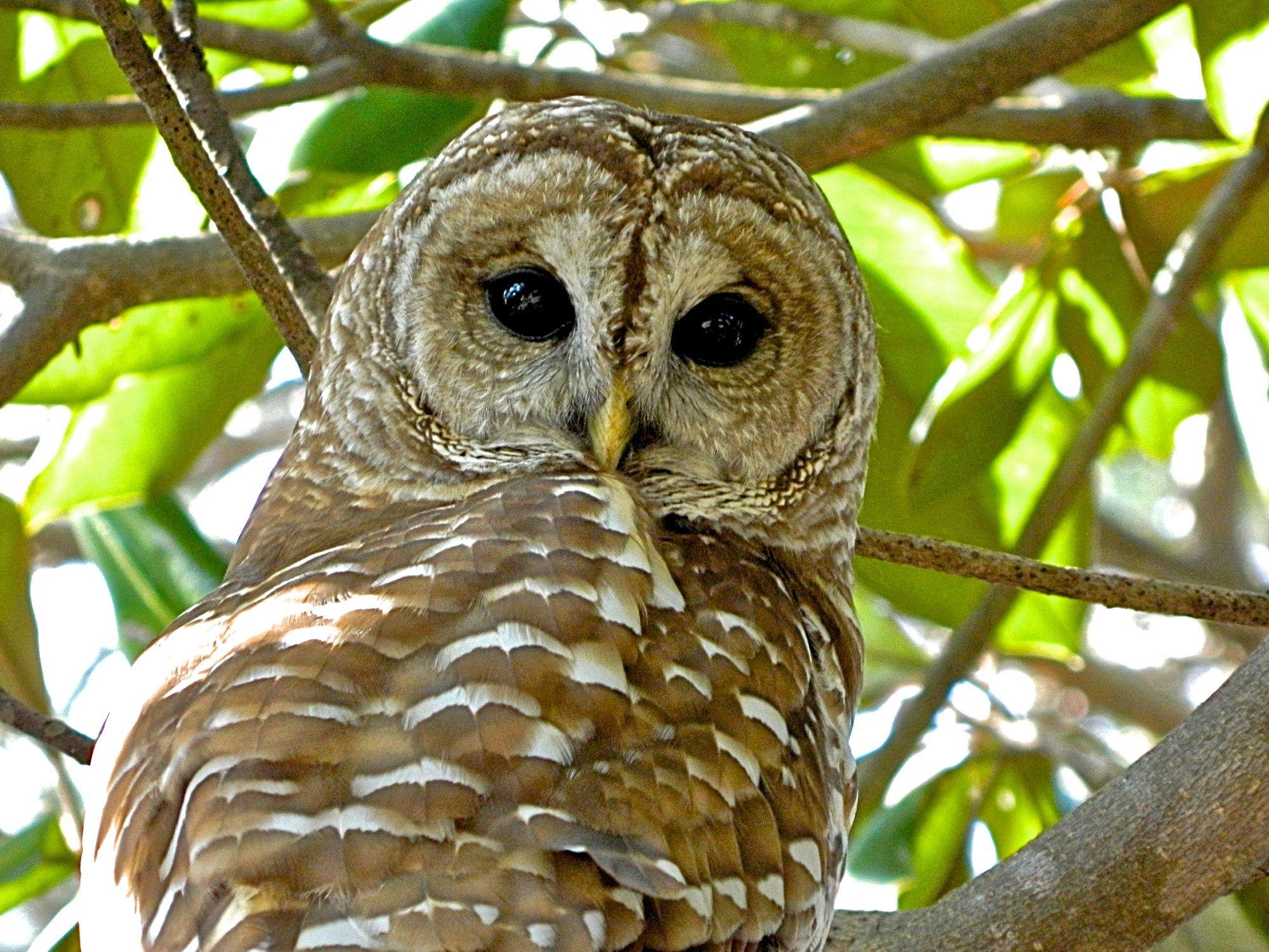 Barred Owl 🦉- Niceville, Florida  | Strigiformes Solitary Nocturnal