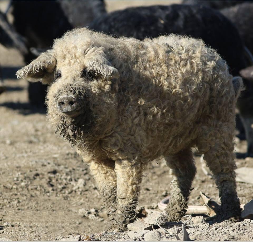 Das Wollschwein ist eine seltene ungarische Rasse, die wie ein Schaf aussieht und wie ein Hund wirkt.